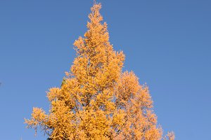 Larch Showing Fall Colors