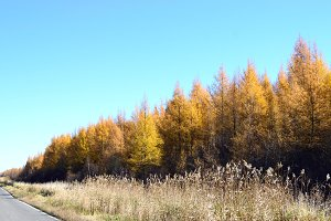 Tamarack Along Road in Fall