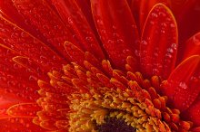 Red gerbera flower background