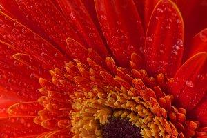 Red gerbera flower background