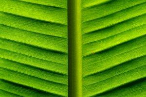 Banana Green Palm Leaf