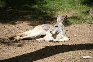 adult australian kangaroo sleeping