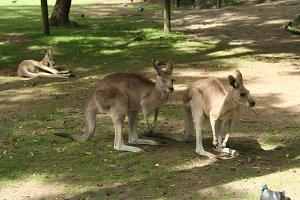 Kangaroo winking