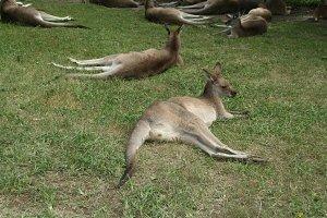 group of kangaroos relaxing
