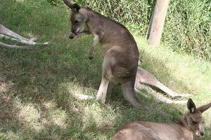 Kangaroo cleaning itself