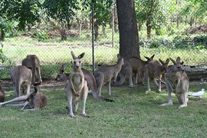 Group of kangaroos