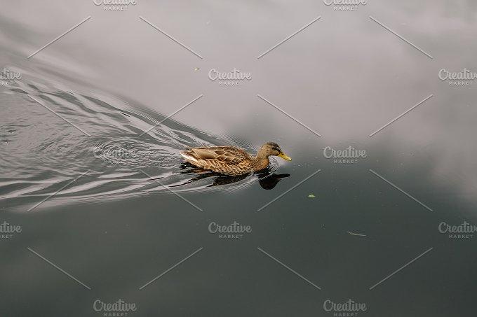 little duck no.2 - Animals