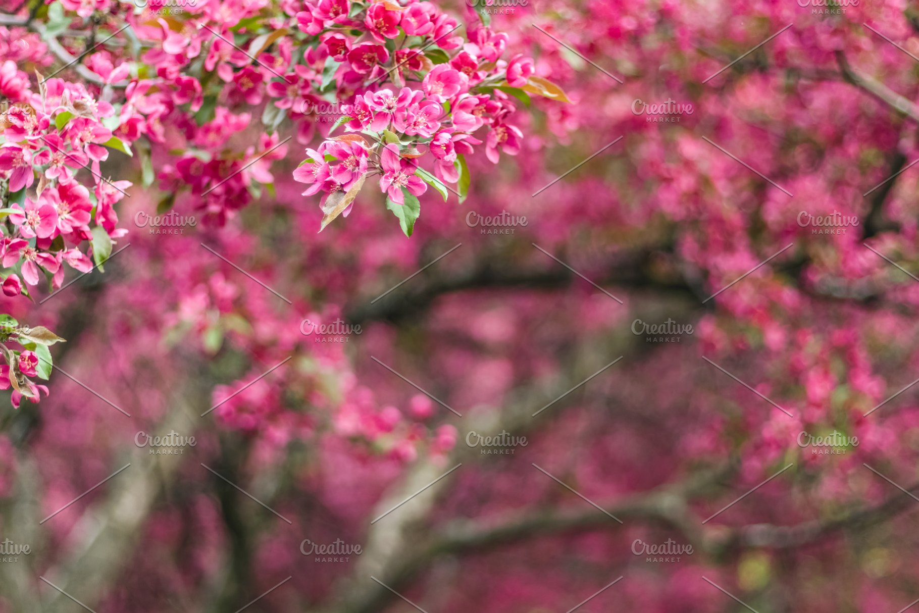 Beautiful Blooming Pink Trees High Quality Nature Stock Photos