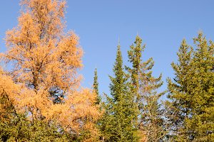 Black Spruce and Tamarack in Fall