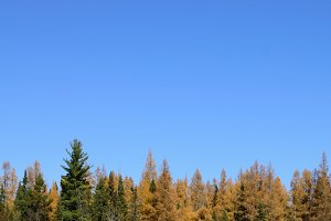 Tamarack and Spruce and Blue Sky