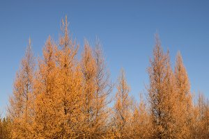 Golden Tamarack on Sunny Fall Day