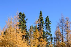 Tamarack and Black Spruce Forest