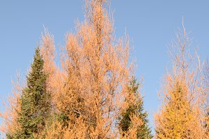 Eastern Larch and Black Spruce