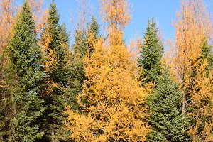 Tamarack and Black Spruce in Autumn