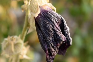 Wilted Hollyhock in Fall