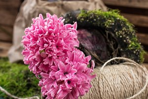 blossoming hyacinth and garden sciss