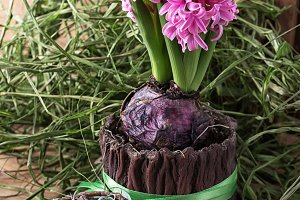 blossoming hyacinth