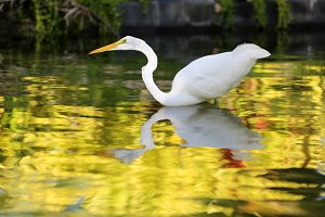 White Heron hunt in the water