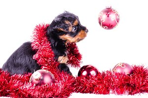 New year Yorkshire Terrier puppy