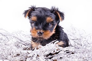 Christmas Yorkshire Terrier puppy