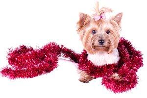 Festive Yorkshire Terrier