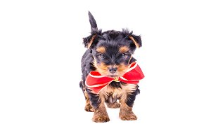 Yorkshire Terrier puppy with red bow