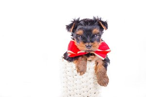 Yorkshire Terrier puppy with bow