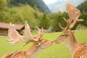 Two deers kissing in the mountains