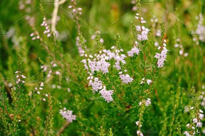 Tiny Pink Flowers Nature