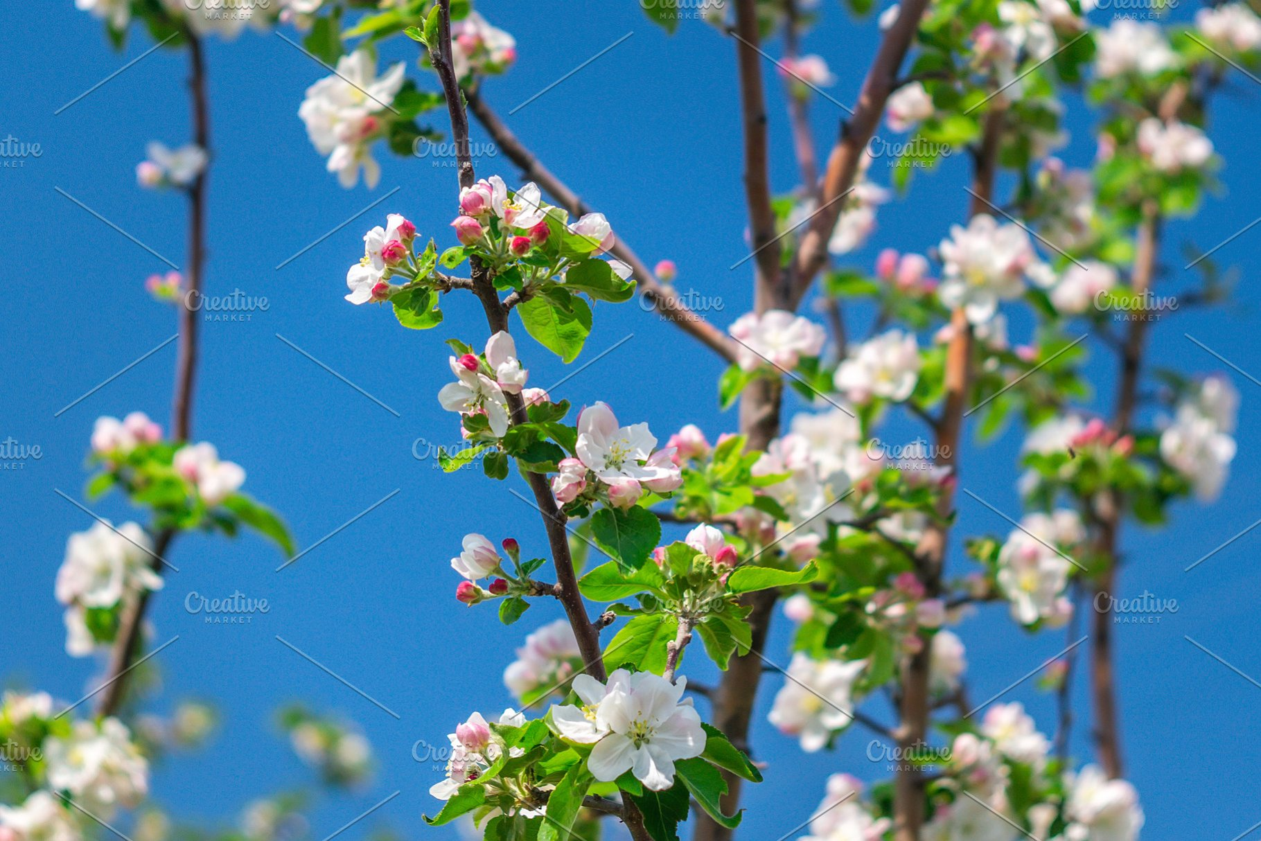 Apple Trees Flowers Beautiful High Quality Nature Stock Photos