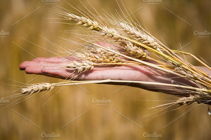 Wheat ears in the hands.Harvest conc - Nature
