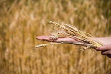 Wheat ears in the hands.Harvest conc