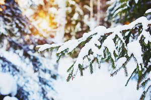 Spruce tree under the snow