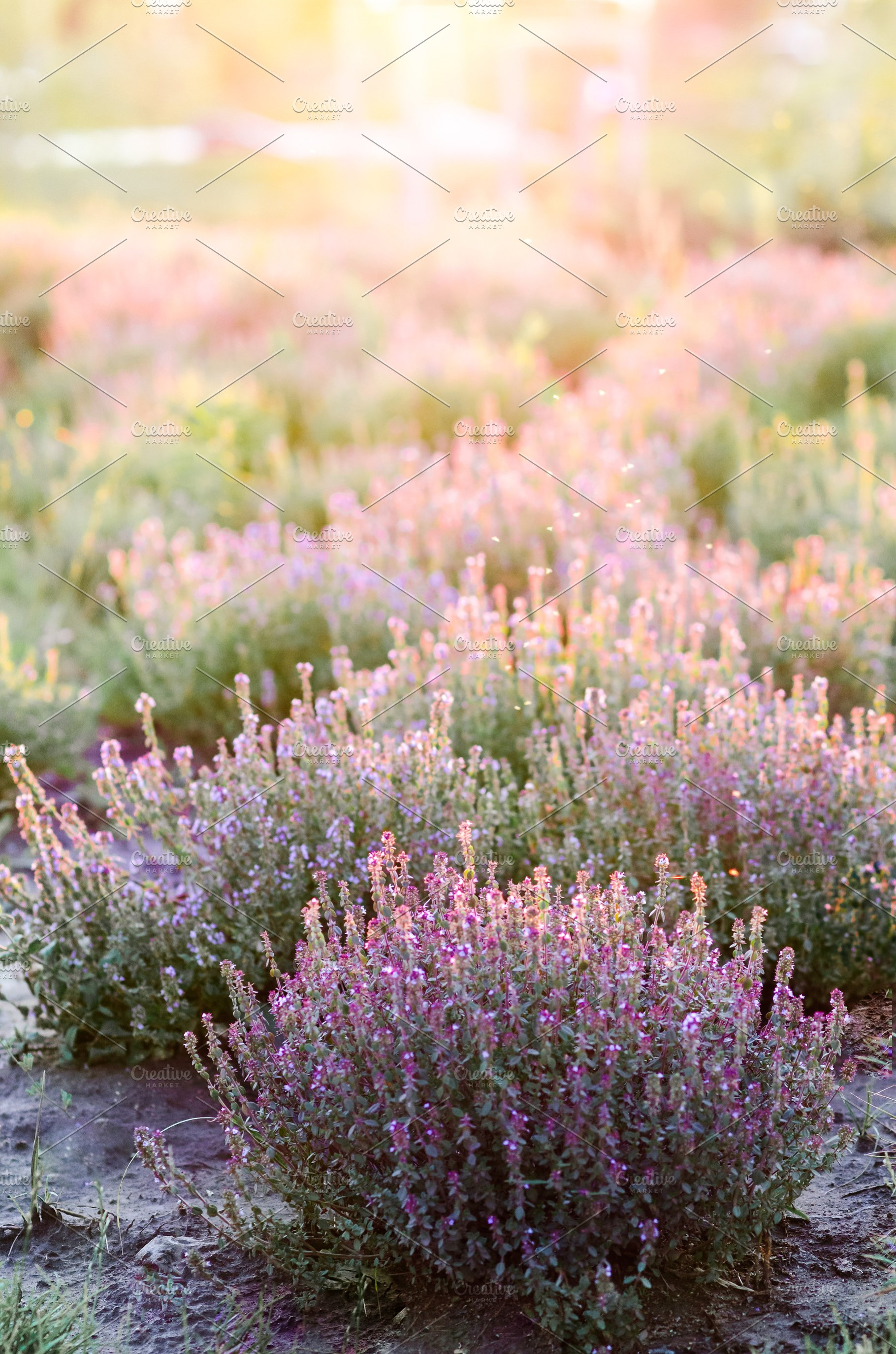 Bushes Of Purple Flowers At Sunset High Quality Nature Stock