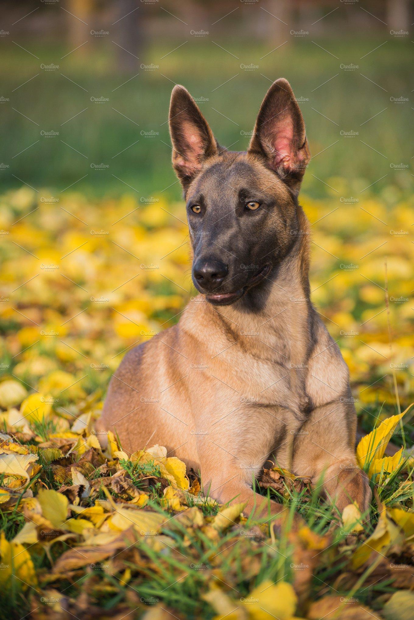 Belgian Malinois dog in yellow leave ~ Animal Photos ...