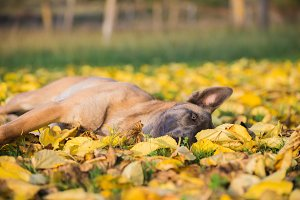 Belgian Malinois dog in yellow leave