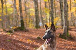 Belgian Malinois dog, autumn leaves