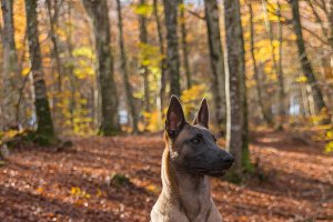 Belgian Malinois dog, autumn leaves