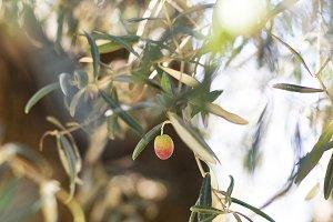 Olive fruit on tree