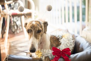 Greyhound in a Christmas Costume