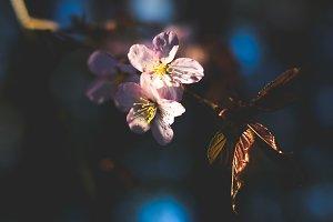Sakura - Japanese cherry blossom
