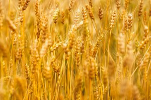 Yellow grain ready for harvest growi