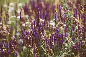 Beautiful detail of scented lavender