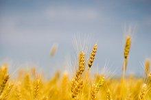 Yellow grain ready for harvest growi