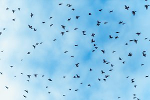 a large flock of birds is  flying