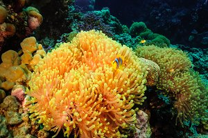 Anemone and clowfish.