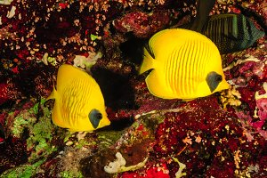 A pair of butterfly fish