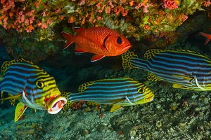 Sweetlips and Soldier fish,under a r
