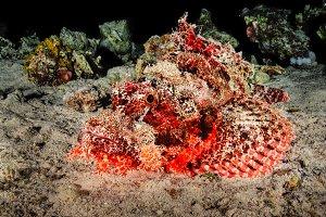 Scorpion fish III