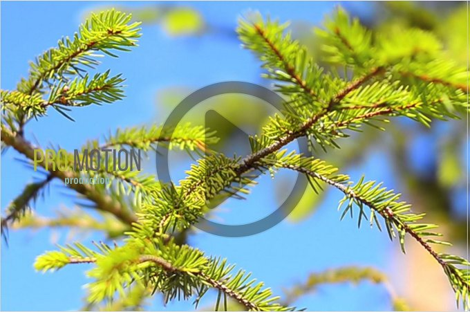 Small Pine Tree at the Summer. HD - Photos